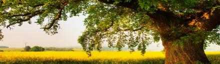 magnificent-old-oak-tree-header