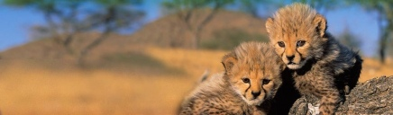 cute-pair-of-young-tigers-web-header_size-1024x300