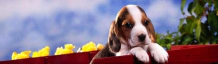 cute-english-beagle-puppy-website-header_size-1024x300