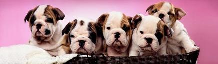 cute-english-bulldog-puppies-website-header_size-1024x300