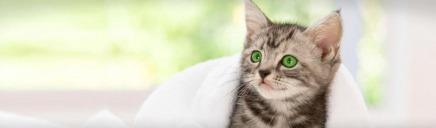cute-lovely-american-shorthair-kitten-web-header_size-1024x300