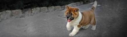 cute-akita-inu-puppy-dog-website-header_size-1024x300